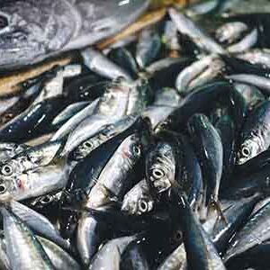 sardina-de-costa